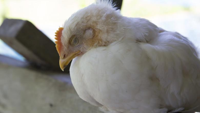 Gripe aviária nos EUA favoreceria exportador brasileiro, diz o Goldman